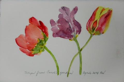 Watercolor sketch of tulips from Carol's garden