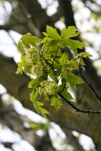 Big Leaf Maple
