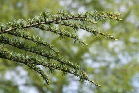 Atlas Cedar