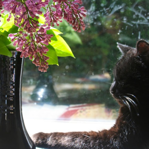 Lilacs with cat