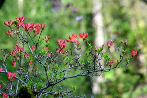 Azalea bush along Azalea Way, Washington Park Arboretum