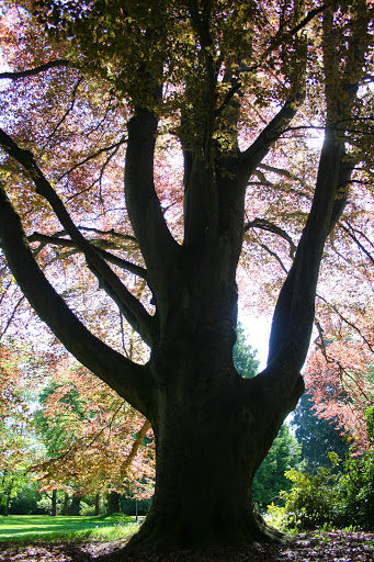 European Copper Beech tree
