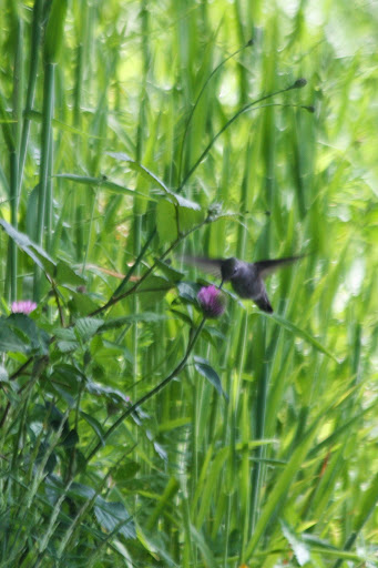 Hummingbird and clover