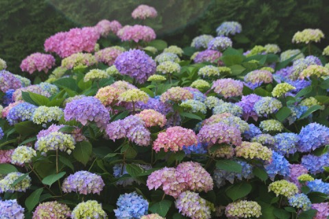 I was amazed by all the different colors on this hydrangea bush