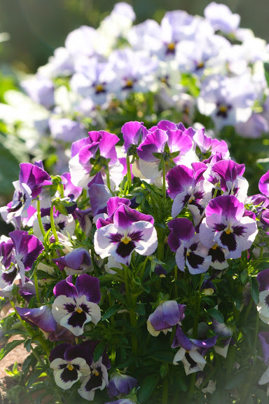 Pansies in the morning light