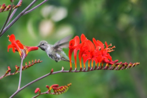 Crocosmia with hummingbird