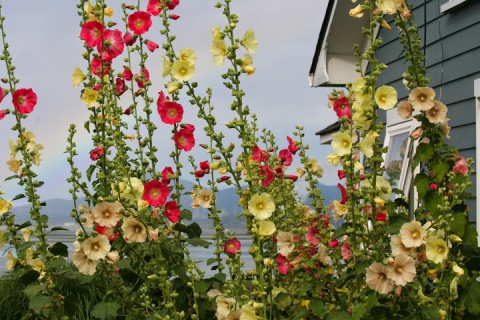 Hollyhocks by the blue house in Bay View