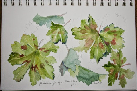 My watercolor sketch of geranium foliage from Ed and Mary's garden