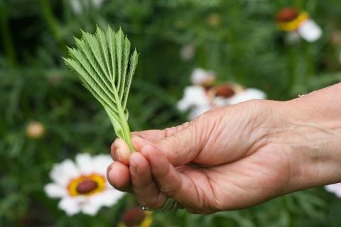 Melianthus leaves, folded like a miniature origami fan