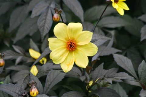 Black leaf dahlia with yellow bloom