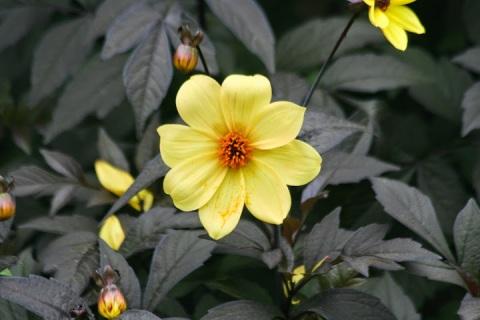 Black leaf dahlia with yellow bloom