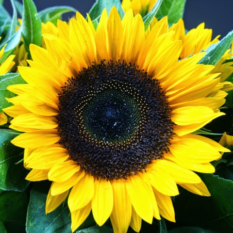 The face of a sunflower