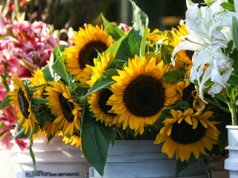 Buckets of sunflowers, Pike Place Market