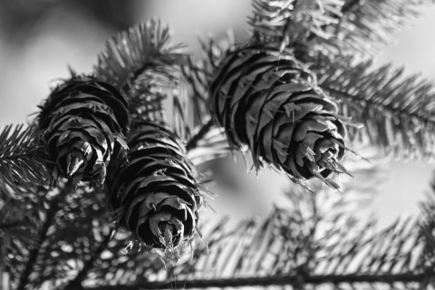 The cones of the Douglas Fir have dragon-tongue-like protrusions jutting out from the cone bracts.