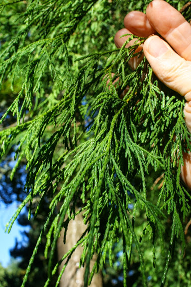 Threadleaf Falsecypress