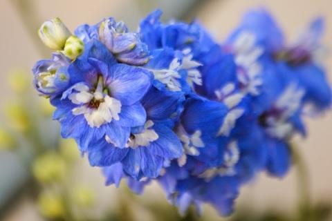 Clear blue delphinium