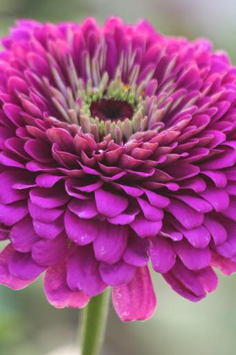 Zinnia, J Foss Garden Flowers
