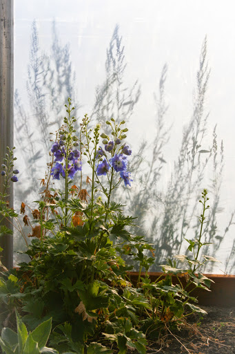 Delphiniums in the greenhouse