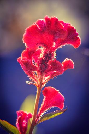 Celosia cristata 'Cockscomb'