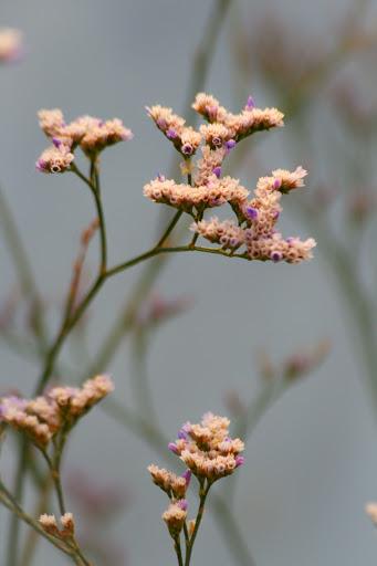 Limonium latifolium hybrid