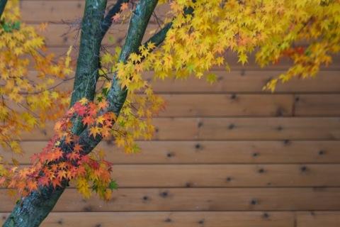 Glowing maple leaves, November