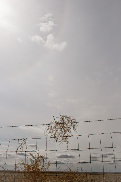 Kochia tumbleweed caught on fence, along I-80 in Nebraska
