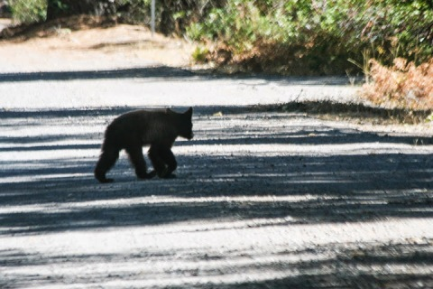 Bear cub walking across the road (photo taken through dirty windshield)