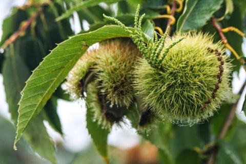 Colossal chestnuts, Jello Mold Farm
