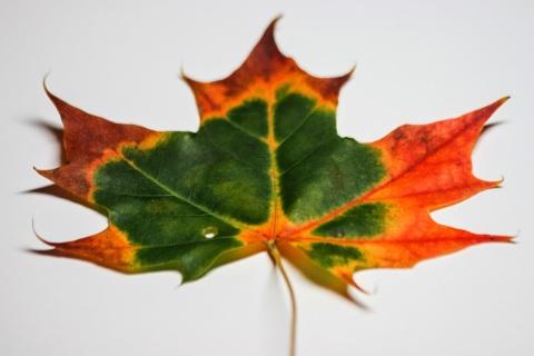 Multi-colored maple leaf