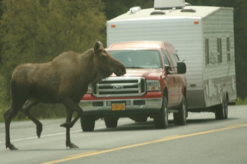 Moose stops traffic on drive to Kenai Peninsula
