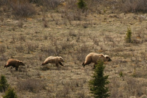 Grizzly Mom and cubs -- no way you could win this race