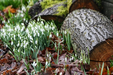 Leaf-nested snowdrops