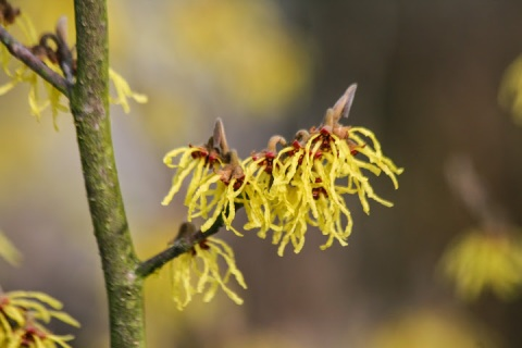 Cheerful yellow witch hazel, a spot of color in winter's gloom