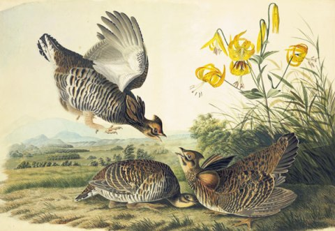 Audubon's painting of Greater Prairie Chickens