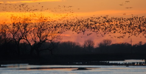 Sandhill cranes returning to Platte River to roost for the night