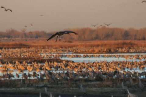 Sandhill cranes on the Platte River at sunrise