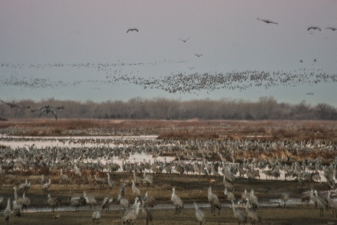 Cranes at dawn from the blind at the Rowe Sanctuary