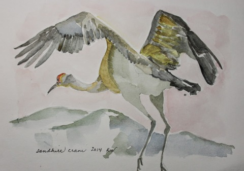 Watercolor sketch of sandhill crane shortly after taking to the air