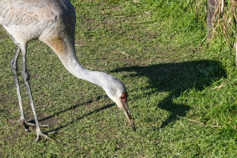 Sandhill crane with shadow