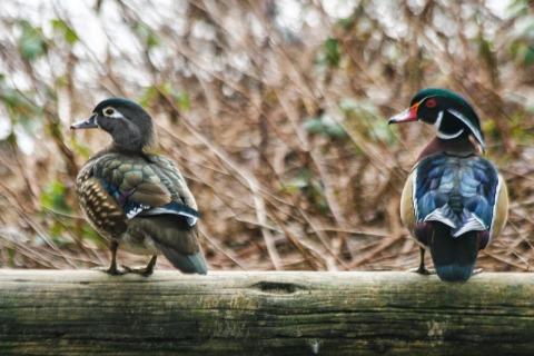 Female and male wood ducks