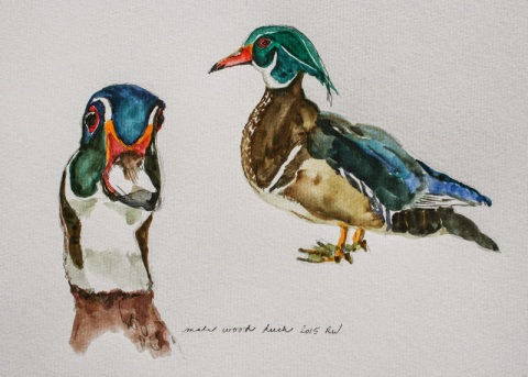 Watercolor sketches of wood duck
