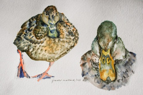 Watercolor sketches of female mallard