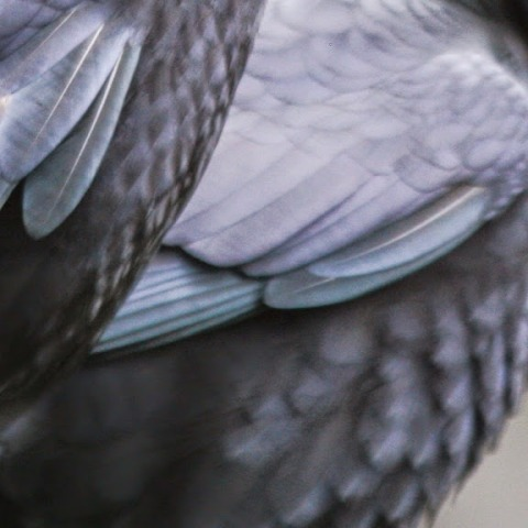 Detail, crow feathers