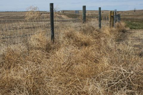 Tumbleweed piles up along fence