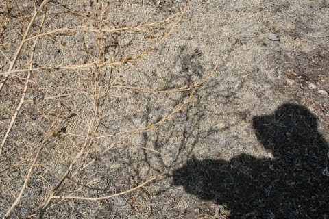 Kochia tumbleweed with shadow