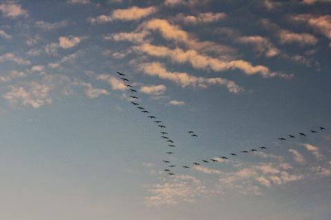 """A """"V"""" of  sandhill cranes in flight over the Platte River"""