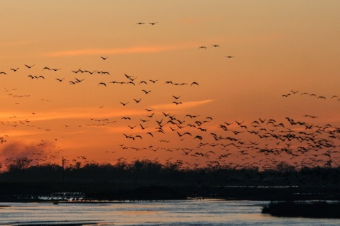 The rewards of being outside t sunset -- Sandhill cranes flock to the Platte River.