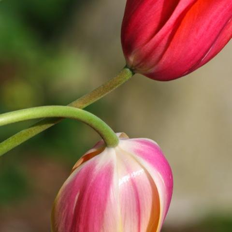 Crossed tulips
