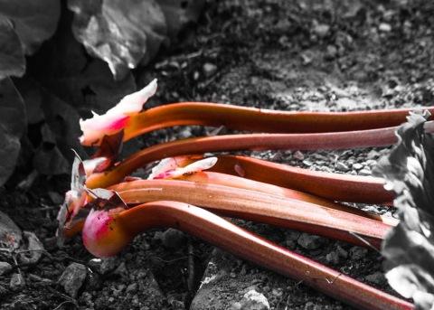 Rhubarb from my garden