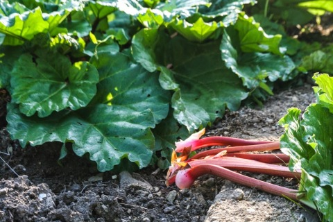 My first rhubarb picking of the year